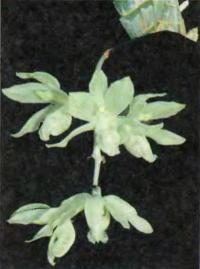 Орхидея Clowesia russelliana