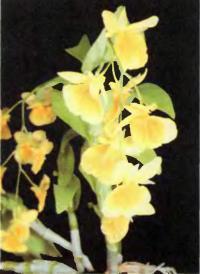 Орхидея Dendrobium capillipes