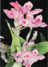 Орхидея Dendrobium parishii