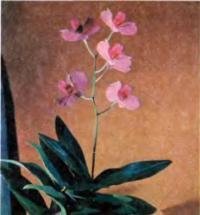 Орхидея Dendrobium phalaenopsis