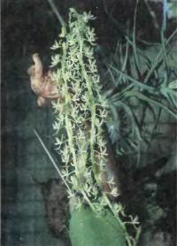 Орхидея Notylia bicolor