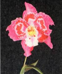 Орхидея Odontioda (Franz Wichmann х Joe's Drum)