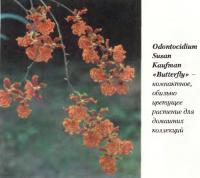 Орхидея Odontocidium Susan Kaufman «Butterfly»