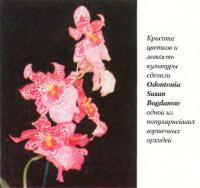 Орхидея Odontonia Susan Bogdanow