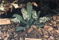Орхидея Omitocephalus grandiflorus