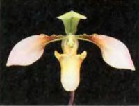 Орхидея Paphiopedilum appletonianum