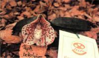 Орхидея Paphiopedilum bellatulum ВМ/9ЕОС