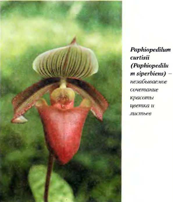 Орхидея Paphiopedilum curtisii (Paphiopedilu m siperbiens)