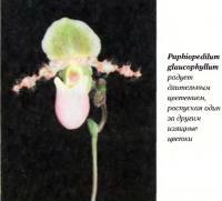 Орхидея Paphiopedilum glaucophyllum