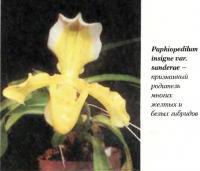Орхидея Paphiopedilum insigne var. sanderae