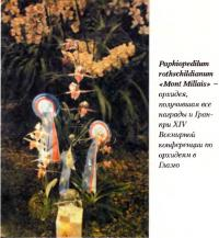 Орхидея Paphiopedilum rothschildianum «Mont Millais»