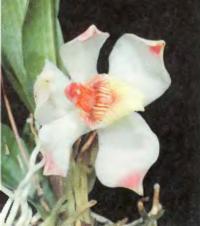 Орхидея Pescatorea klabochorum