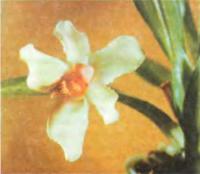 Орхидея Pescatorea wallisii