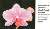 Орхидея Phalaenopsis (Brother x Chiali Freed) «Narce»