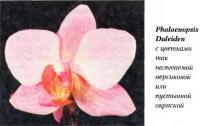 Орхидея Phalaenopsis Daleiden