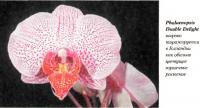 Орхидея Phalaenopsis Double Delight