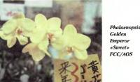 Орхидея Phalaenopsis Golden Emperor «Sweet» FCC/AOS