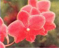 Орхидея Phalaenopsis Hawaiian Chiefess «Nuuanu» AM/AOS
