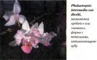 Орхидея Phalaenopsis intermedia var. diezlii