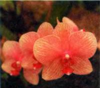 Орхидея Phalaenopsis «Kathy Baldwin»