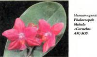 Орхидея Phalaenopsis Mahalo «Carmela» AM/AOS