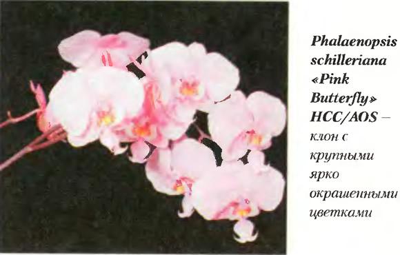 Орхидея Phalaenopsis sehilleriana «Pink Butterfly» HCC/AOS
