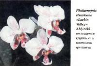 Орхидея Phalaenopsis stuartiana «Larkin Valleys» AM/AOS