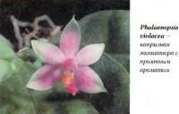 Орхидея Phalaenopsis violacea