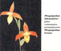 Орхидея Phragmipedium dalessanderoi
