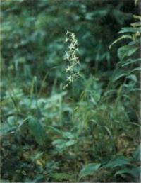 Орхидея Platanthera bifolia
