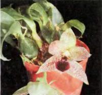 Орхидея Promenaea stapelioides