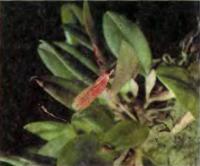 Орхидея Restrepia elegans