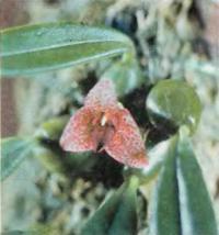 Орхидея Trias picta