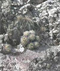 Ортегокактус Макдугала в природе