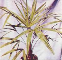 Пальма китайская веерная