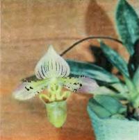 Paphiopedilum acmodontum - компактное растение с пестрыми листьями
