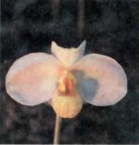 Paphiopedilum emersonii (GM/10EOC) обладает сильным приятным ароматом