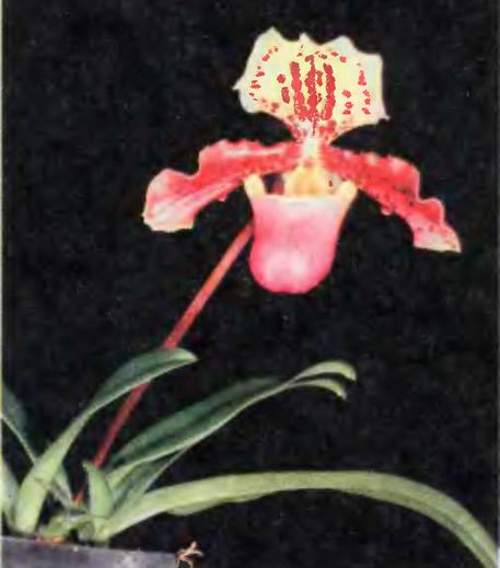 Paphiopedilum henryanum — неприхотливая миниатюра