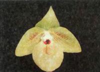 Paphiopedilum mattpoense — «Китайский башмачок» с фруктово-кондитерским ароматом