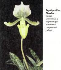 Paphiopedilum Maudiae — самый известный старинный гибрид
