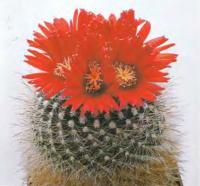 Пародия кровавоцветковая