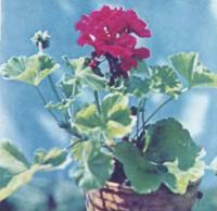 Пеларгония зональная Рубин