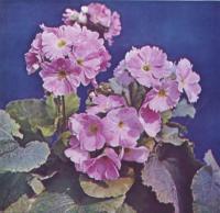 Первоцвет обратноконический с розовыми цветкам