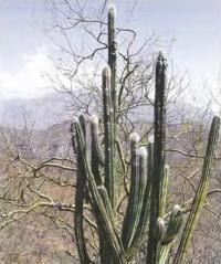 Пилозоцереус теуаканский