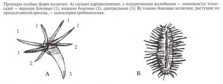 Примеры особых форм колючек