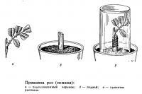 Прививка роз (зимняя)