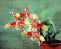 Пятнистостъ на цветах Rossioglossum grande