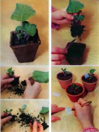 Рассаживание молодых растений