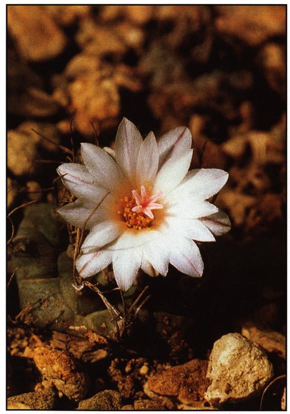 Растение на биотопе восточнее Матеуалы (Matehualy), Сан-Луис-Потоси