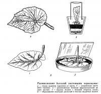 Размножение бегоний листовыми черенками